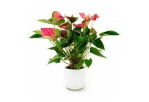 bloeiende-kamerplant-anthurium-rose-in-designpot-wit-40cm