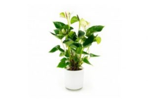 bloeiende-kamerplant-anthurium-wit-in-designpot-wit-40cm